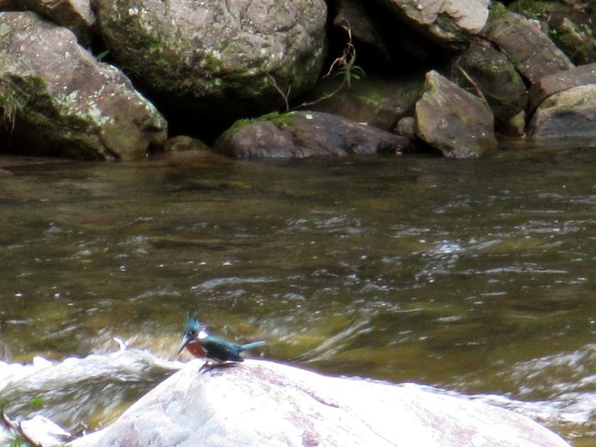 Martín pescador en el río Cumbaza.
